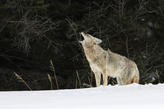 coyotes stock