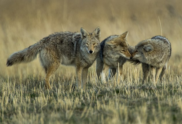 Coyotes1