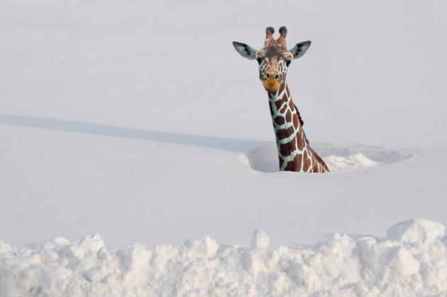 2019-01-07 Deep Snow Giraffe