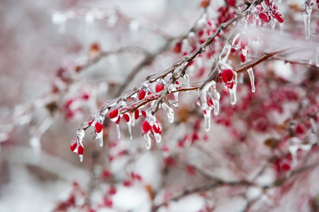 FreezingRainRowanBerries