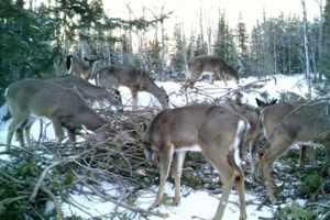 Emergency feeding needed to stave off potential deer starvation: Algoma Fish and Game Club