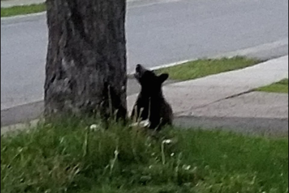 Young bear seen on Woodward Avenue Monday, June 10, 2019. Reader submitted photo