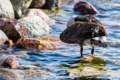 Just some geese bathing in the St. Marys River <b>(23 photos)</b>