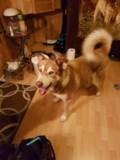 Found husky mix dog