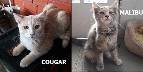 2017-09-26 Adopt Me Cougar Malibou