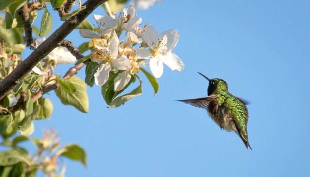 hummingbird_sminardi