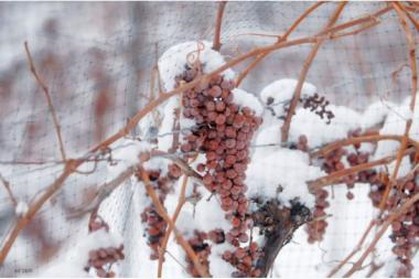 SnowyGrapes