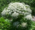 Is it hogweed or parsnip? Be careful either way <b>(3 photos)</b>