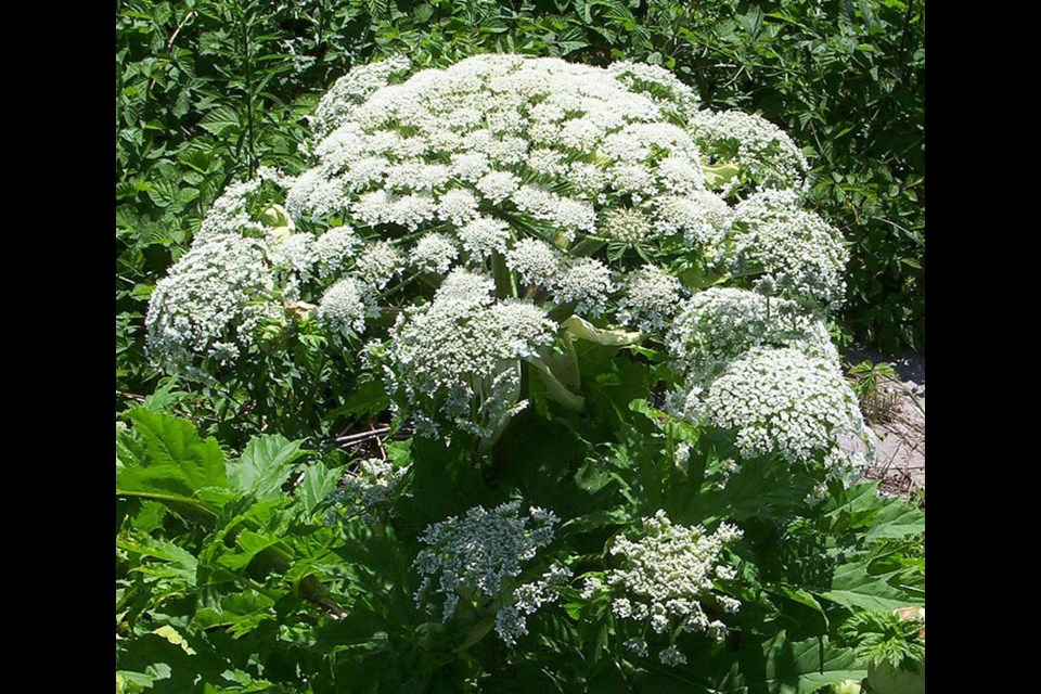 Giant hogweed (Wikipedia)