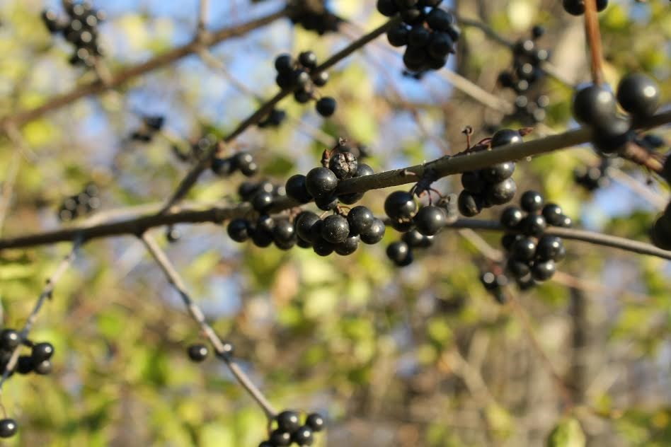 Common Buckthorn berries.  Photo supplied by Invasive Species Centre.
