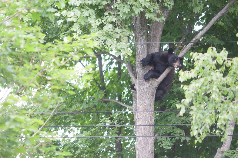 A bear seen in a tree behind a property on Kerr Drive in the city's east end last Monday. Kenneth Armstrong/SooToday