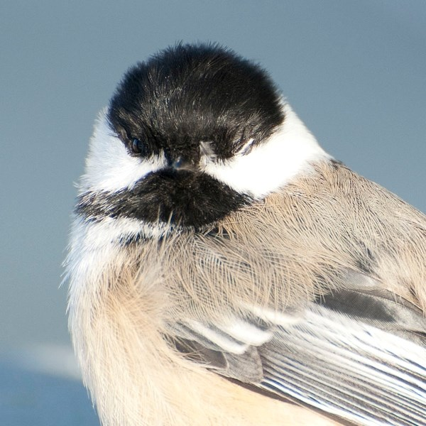 THAT HURT – A one-eyed black-capped chickadee recuperates atop a box after apparently smacking into the Gazette building in this 2013 photo. A recent study suggests that