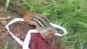 Video: Sudbury man saves chipmunk from strangulation