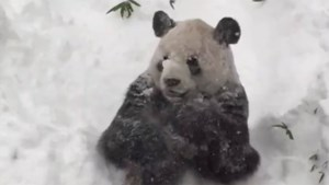 Monday smile: Panda has the time of his life during blizzard