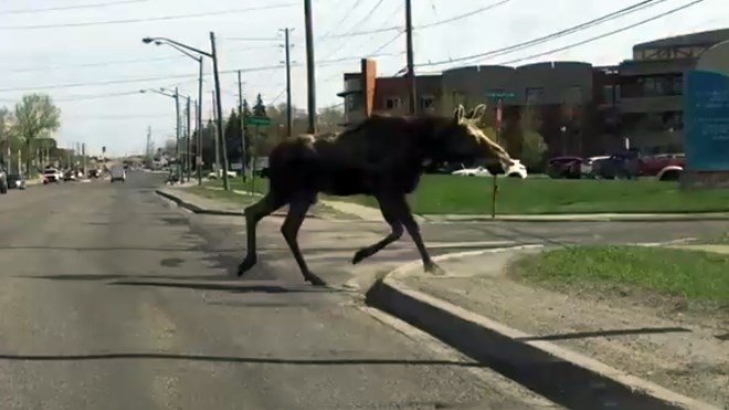 A moose crosses Notre Dame Avenue near Pioneer Manor on May 23, 2018. (Screen Capture/92.7 Rock)