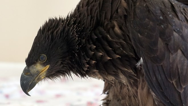 Wick, a juvenile bald eagle, was found injured on a Warren farm owned by OPP officer Carmel McDonald last month. (Supplied)