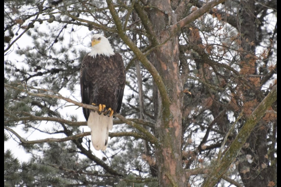 One of the first birds spotted during the Nov. 11 birding event was a this bald eagle, perched majestically in a tree on Windy Lake near Cartier. (Chris Blomme)