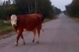 <b>Video: Loose cows take morning stroll in Chelmsford</b>