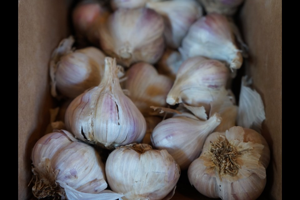 how to grow garlic in ontario