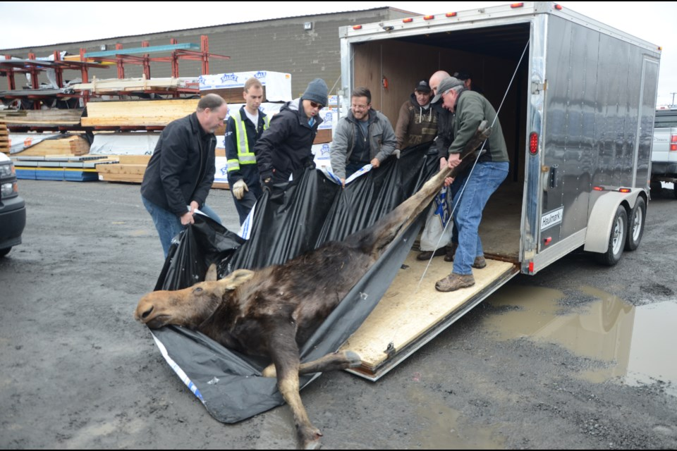 Ministry of Natural Resources and Forestry officials move a sedated moose into their vehicle. The moose was wandering around downtown Sudbury earlier today before it was finally cornered on Lorne Street. Photo by Arron Pickard.