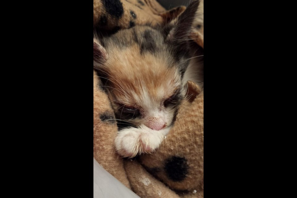 The Ontario SPCA is seeking information from the public about a kitten that was found on the side of Highway 17 in Wahnapitae. (Supplied)