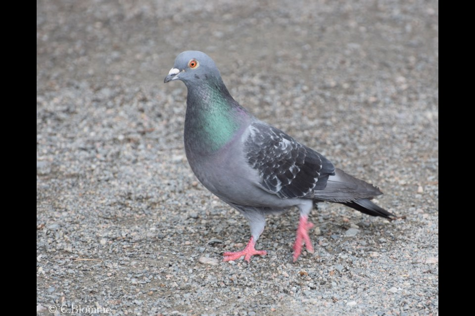 Rock pigeons, though not native to the North, have nevertheless adapted to life in Northern Ontario, since being introduced to North America in the 1890s in New York's Central Park. Photo: Chris Blomme.