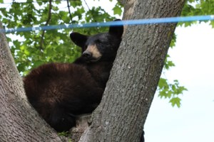 Just hanging out: Black bear relaxes in a tree