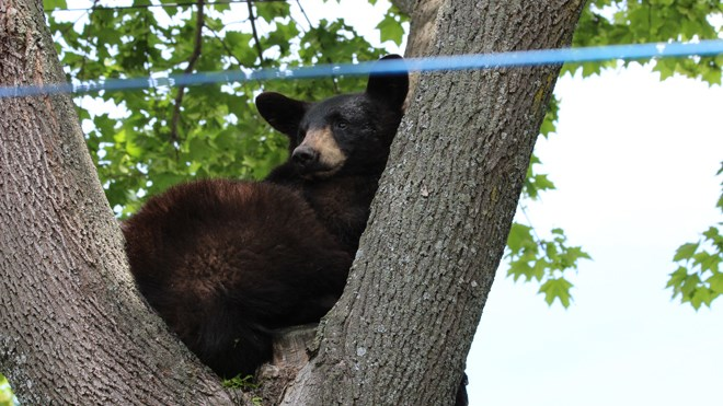 Rene Dionne snapped a few shots of a young black bear hanging out in a tree in his neighbourhood.