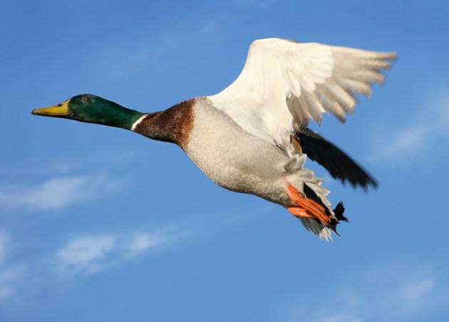 020418_mallard_duck