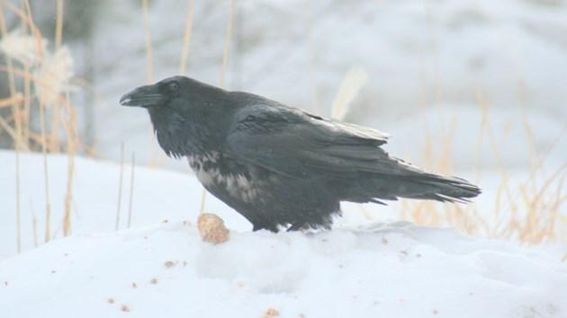 230215_CB_birdman_ravens2