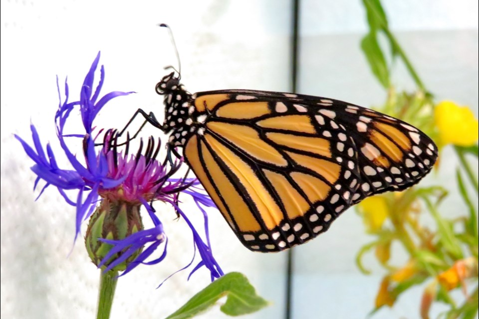 Shelly Haglund's insectarium has reared a number of monarch butterflies. (Supplied)