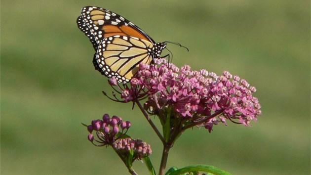 070814_Swamp_milkweed_monarch