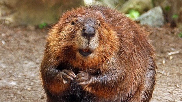 240316_beaver