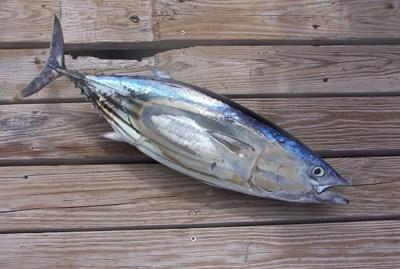 Travel deep sea fishing in jamaica for Deep sea fishing jamaica