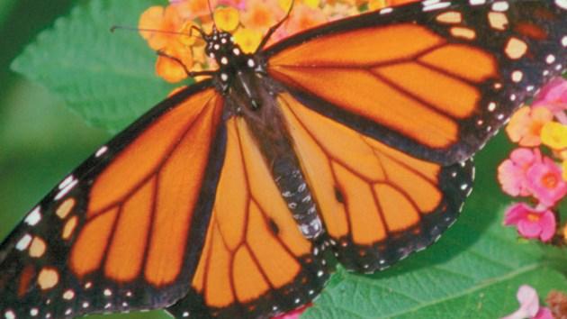 Monarch660