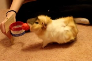 Monday smile: This guinea pig has skills