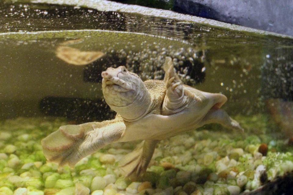 Chinese softshell turtle, found at Northern Exotics pet store and exotic animal exhibit. (Keira Ferguson/ Sudbury.com)