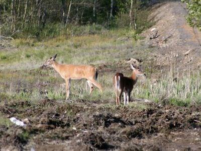 270212_Deer