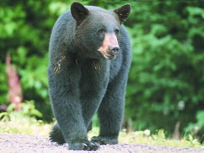 040512_black_bear