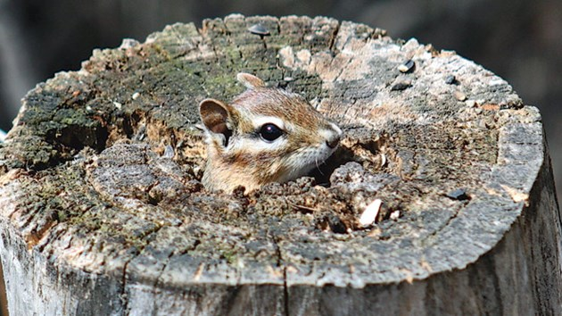 Chipmunk-Photo