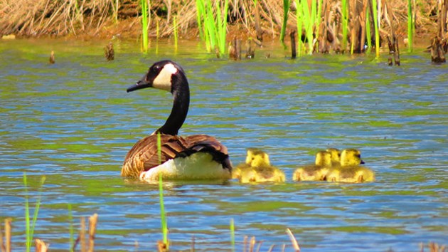 Mama-goose-and-babies-(2)