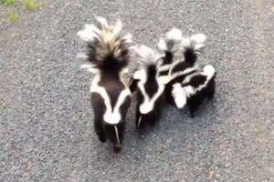 Friday fun moment: Skunk family greets cyclist