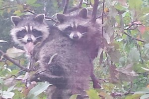 Raccoons caught snacking in a crabapple tree