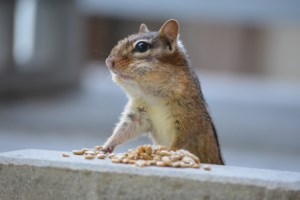 Chipmunk enjoying an afternoon snack