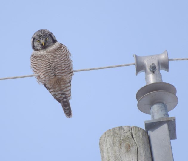 northern hawk owl C.Blomme killarney