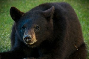 Group of black bears visit backyard in Azilda