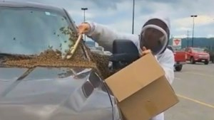 <updated>VIDEO: </updated>10,000 bees swarm a pickup truck in New Liskeard