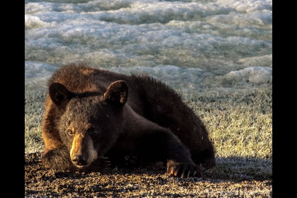 Azilda resident Anne Size snapped these photos of some bears waking up outside of her backyard this week.
