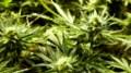 OPP seize $3.1 million worth of marijuana plants in Spanish