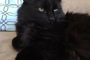 Lost: Black indoor cat